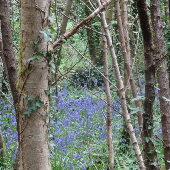 Bluebells and willow