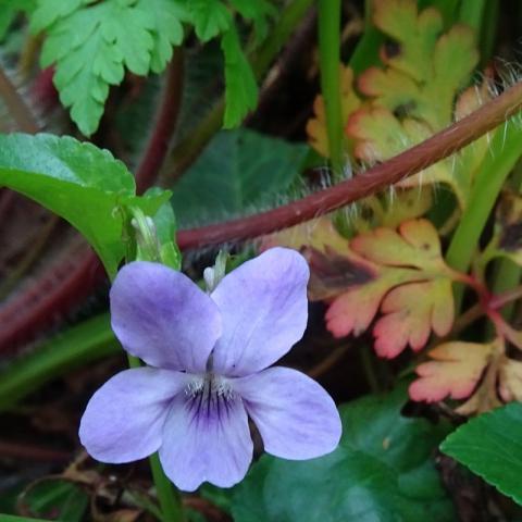 Dog Violet, Belvoir Forest