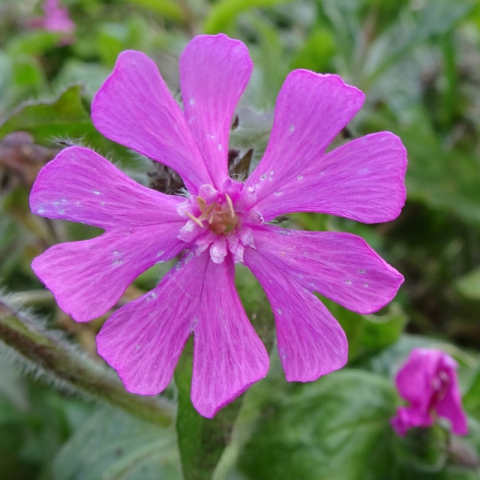 Red Campion, Belvoir Forest