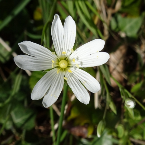 Greater Stitchwort, Lagan Towpath