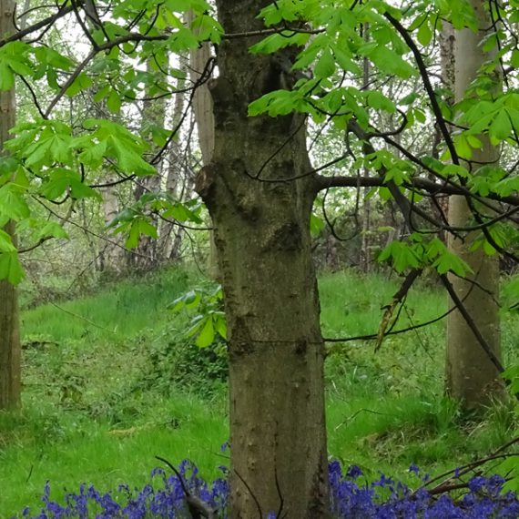 Bluebells and Horse Chestnut, Belvoir Forest