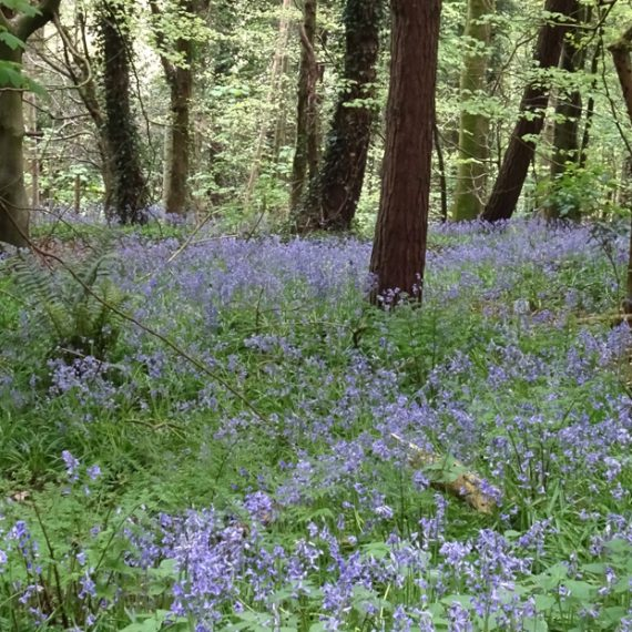 Bluebells and Sycamore, Belvoir Forest