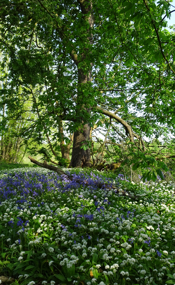 Bluebells and Wild Garlic below a Horse Chestnut Tree, Belvoir Forest