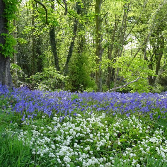Bluebells and Wild Garlic, Belvoir Forest