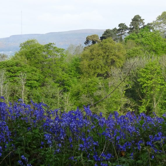 Bluebells, Belvoir Forest
