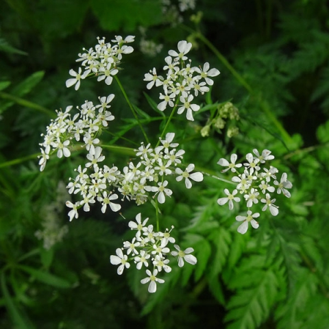 Cow Parsley / Queen Anne's Lace, Spring, Lagan Towpath